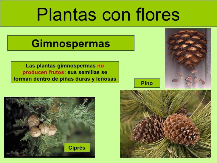 Ejemplos de plantas gimnospermas