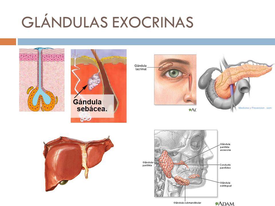 Ejemplos de glandulas exocrinas