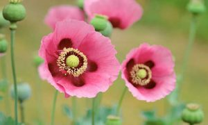 planta medicinal amapola