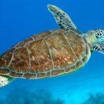 Ejemplos de Tortugas Marinas